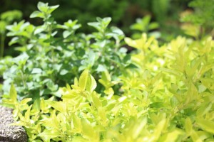 golden oregano herb
