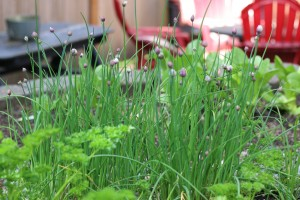 chives herbs